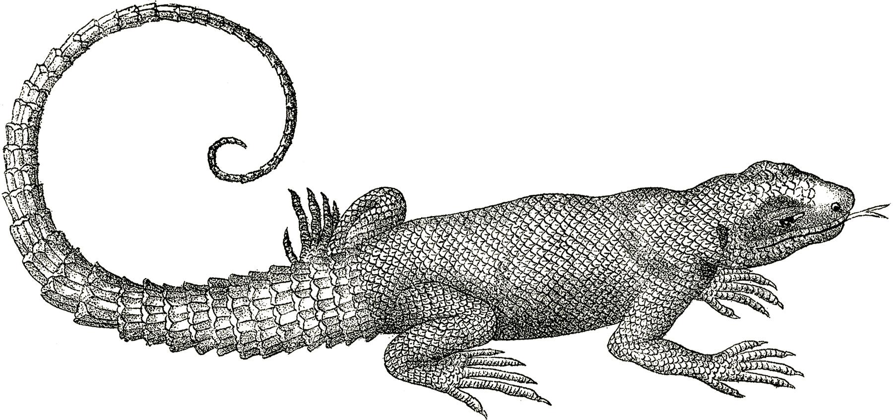 Free vintage lizard clip art the graphics fairy
