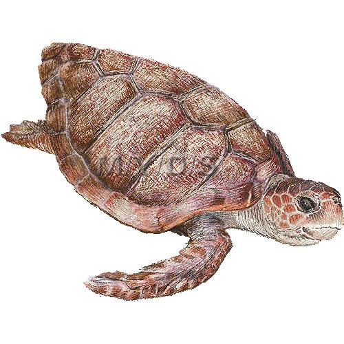 Loggerhead sea turtle clipart graphics free clip art
