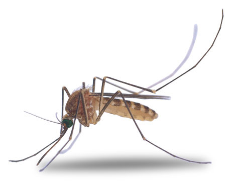 Mosquito clipart 4