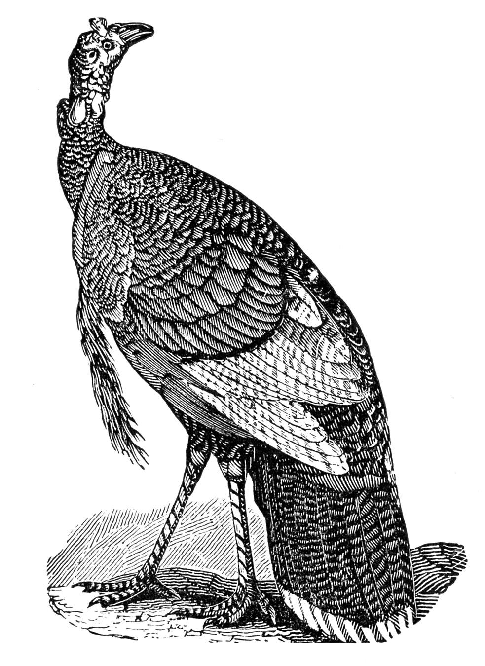 Turkey  black and white vintage thanksgiving clip art turkeys the graphics fairy