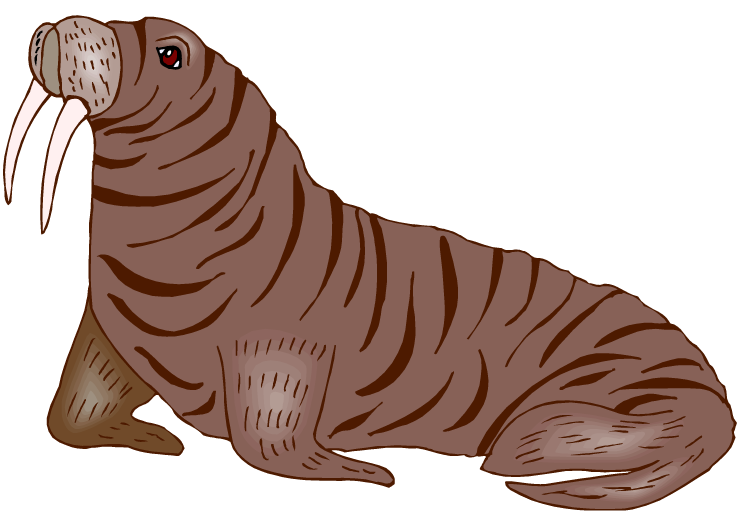 Walrus clipart 13