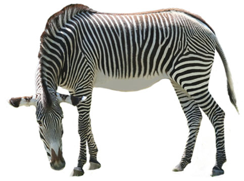 Zebra clipart 4