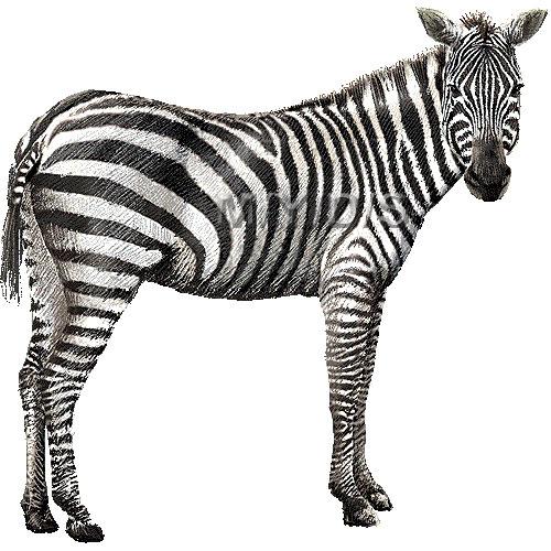 Zebra clipart bay 2