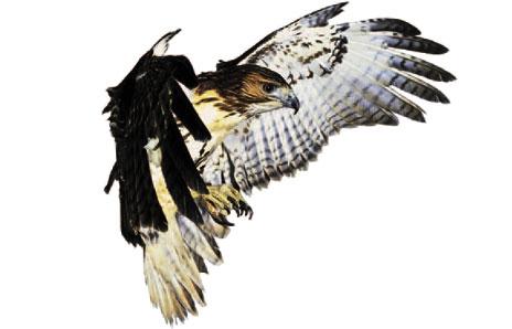 Hawk clip art clipart 3