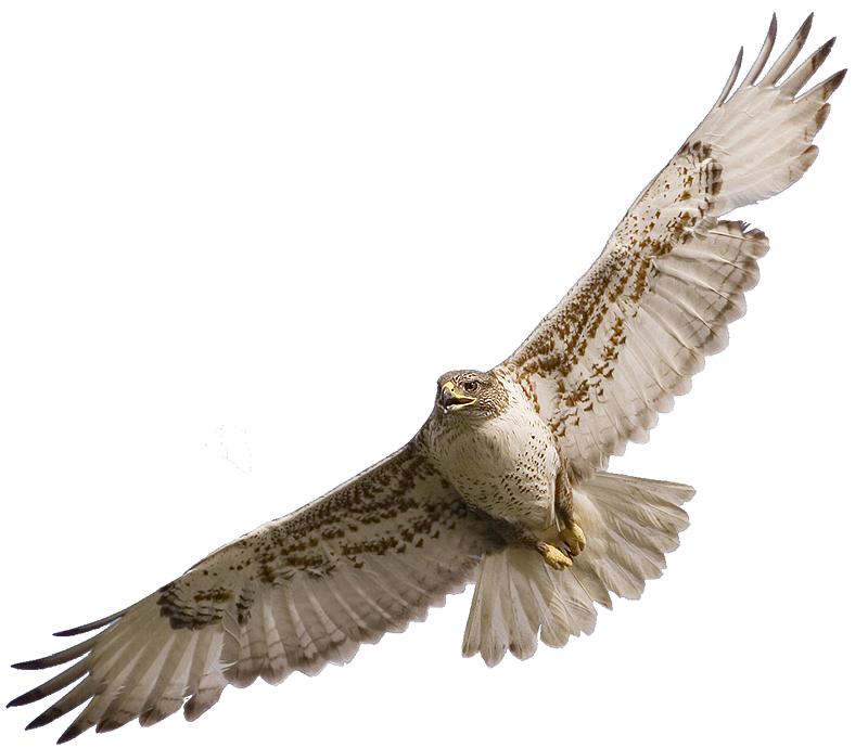Hawk clipart 5 image