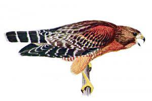 Hawk clipart hawk pouncing