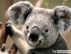 Koala clipart wallpaper 2
