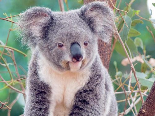 Koala clipart wallpaper 3