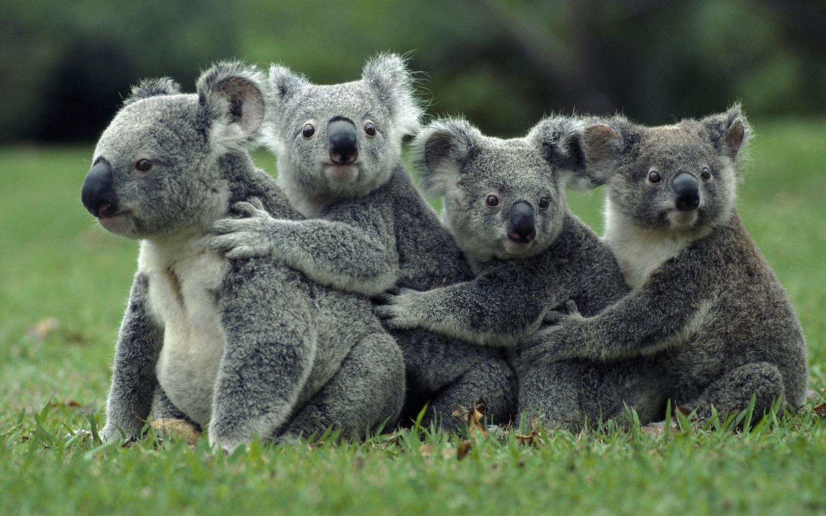 Koala clipart wallpaper