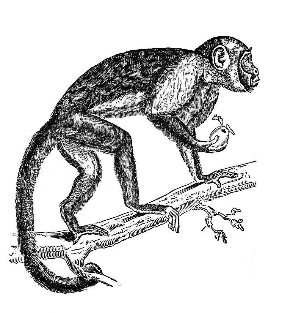 Monkey  black and white hanging monkey clipart