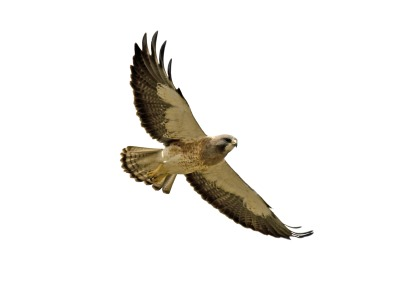 Red tailed hawk clipart free images