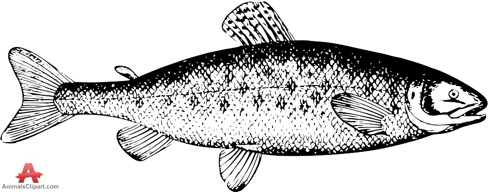 Salmon fish drawing clipart free design download