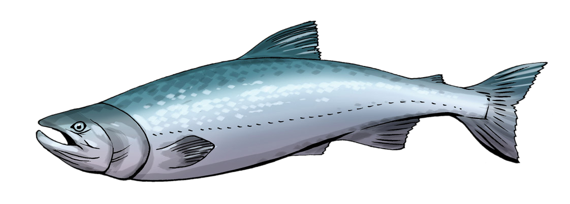 Salmon free to use clipart