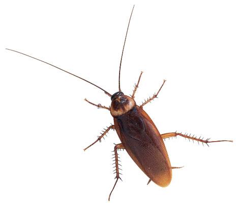 Cockroach images clip art