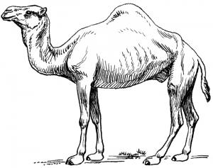 Camel clip art download