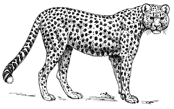 Cheetah clip art download