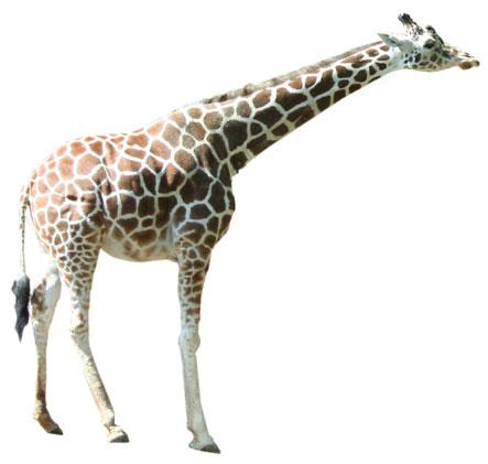 Giraffe clip art images free clipart 2