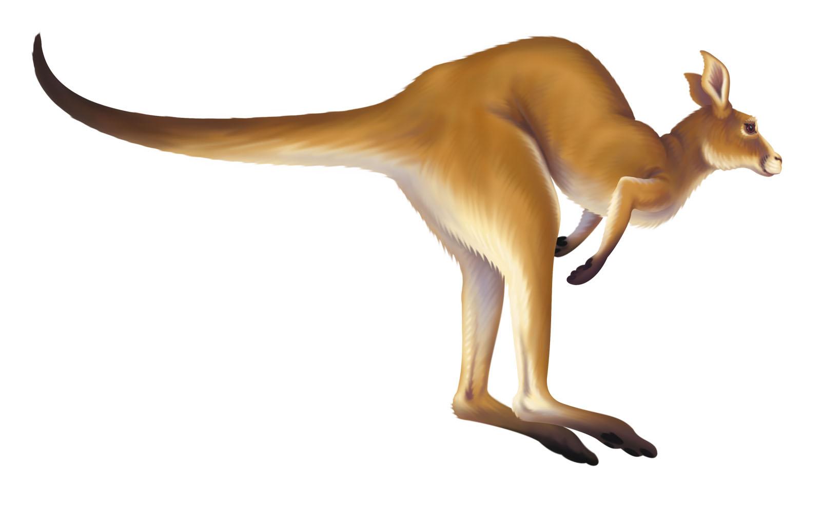Kangaroo clipart 10