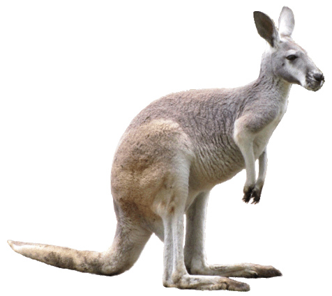 Kangaroo clipart image 7