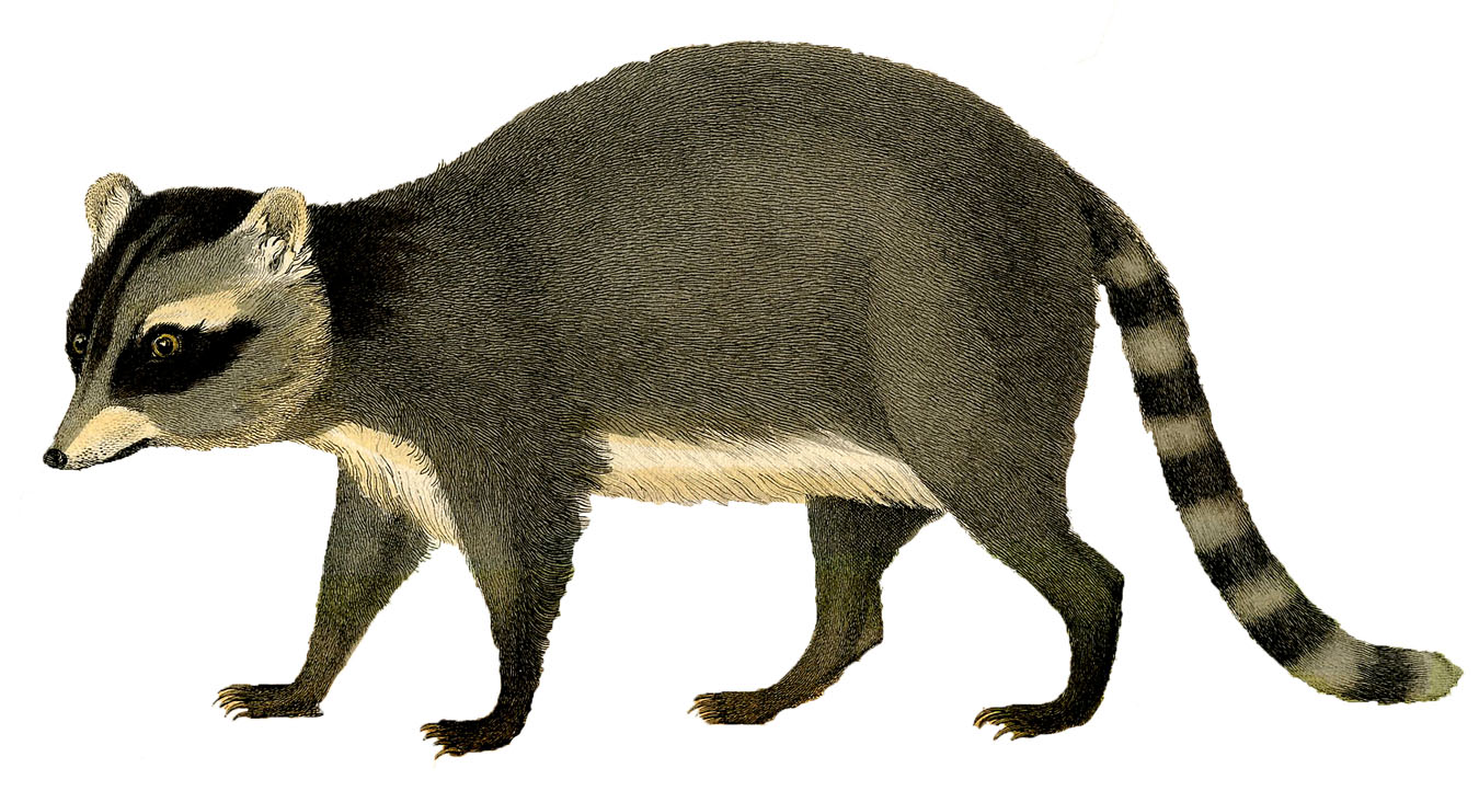 Raccoon clip art pictures free clipart images 4