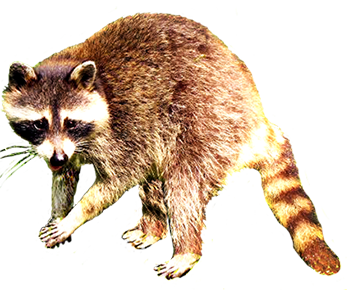 Raccoon clipart free