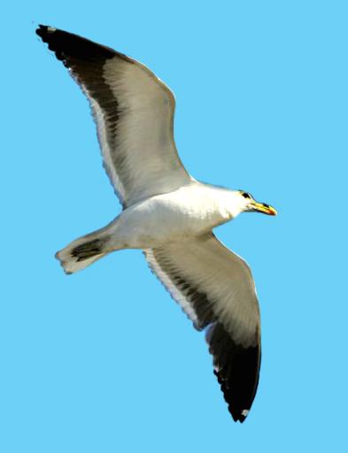 Black seagull clipart no background clipartfest 2