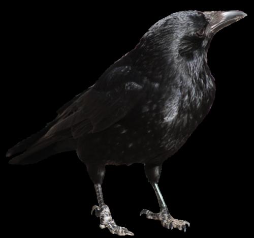 Crow clip art crow clipart fans 7