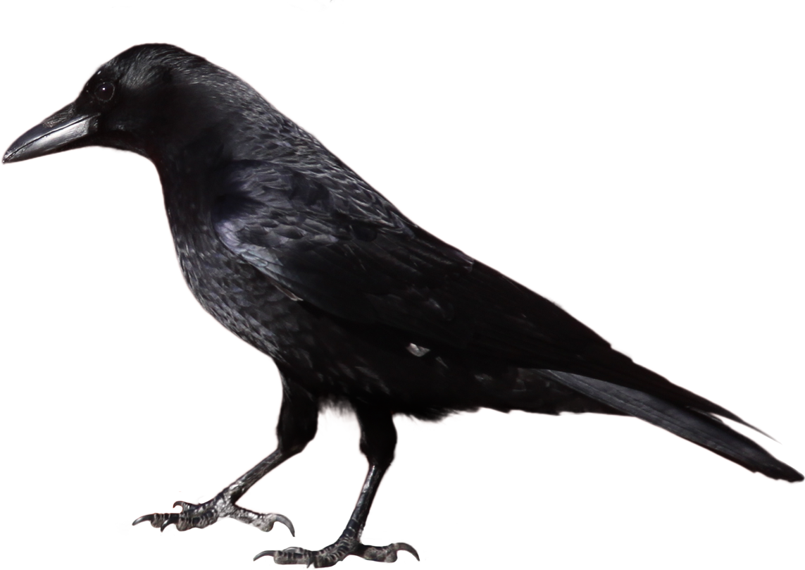 Crow clipart 4
