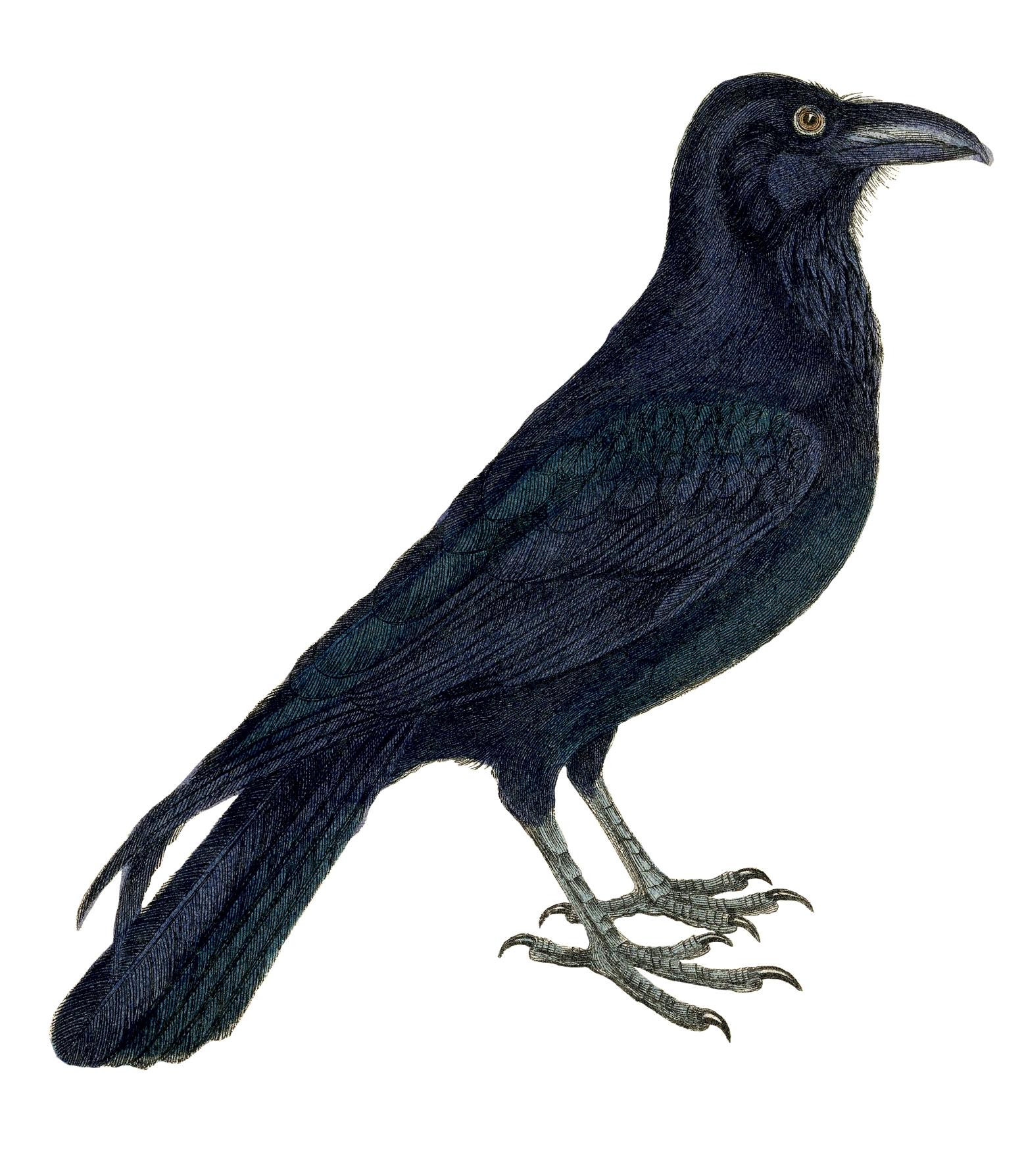 Crow clipart birds and clip art photo crowclipart 4