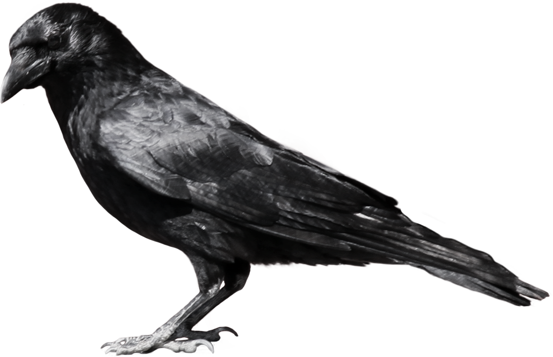 Crow clipart free images 3