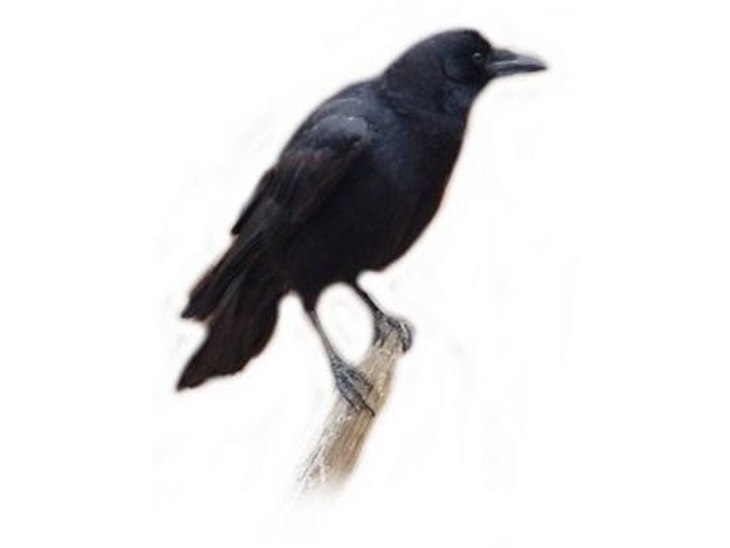 Eating crow clipart