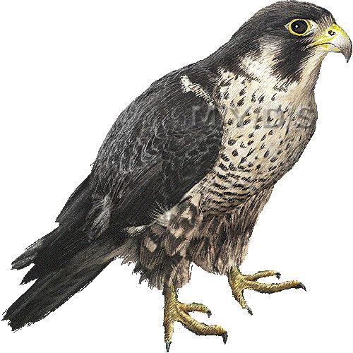 Falcon clipart 3