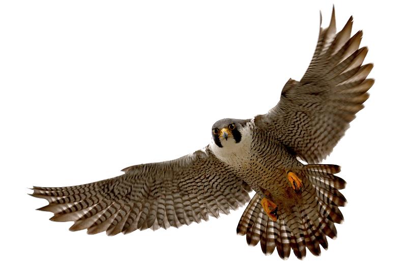 Falcon clipart mart