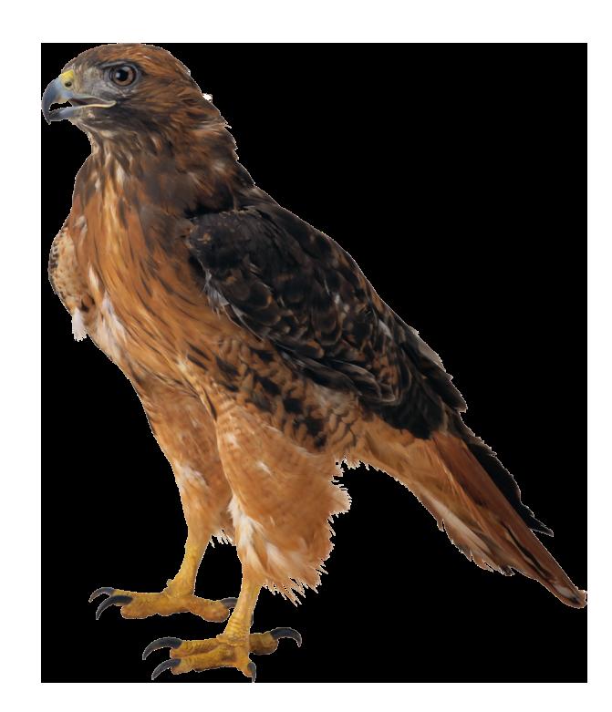 Falcon clipart web image 2