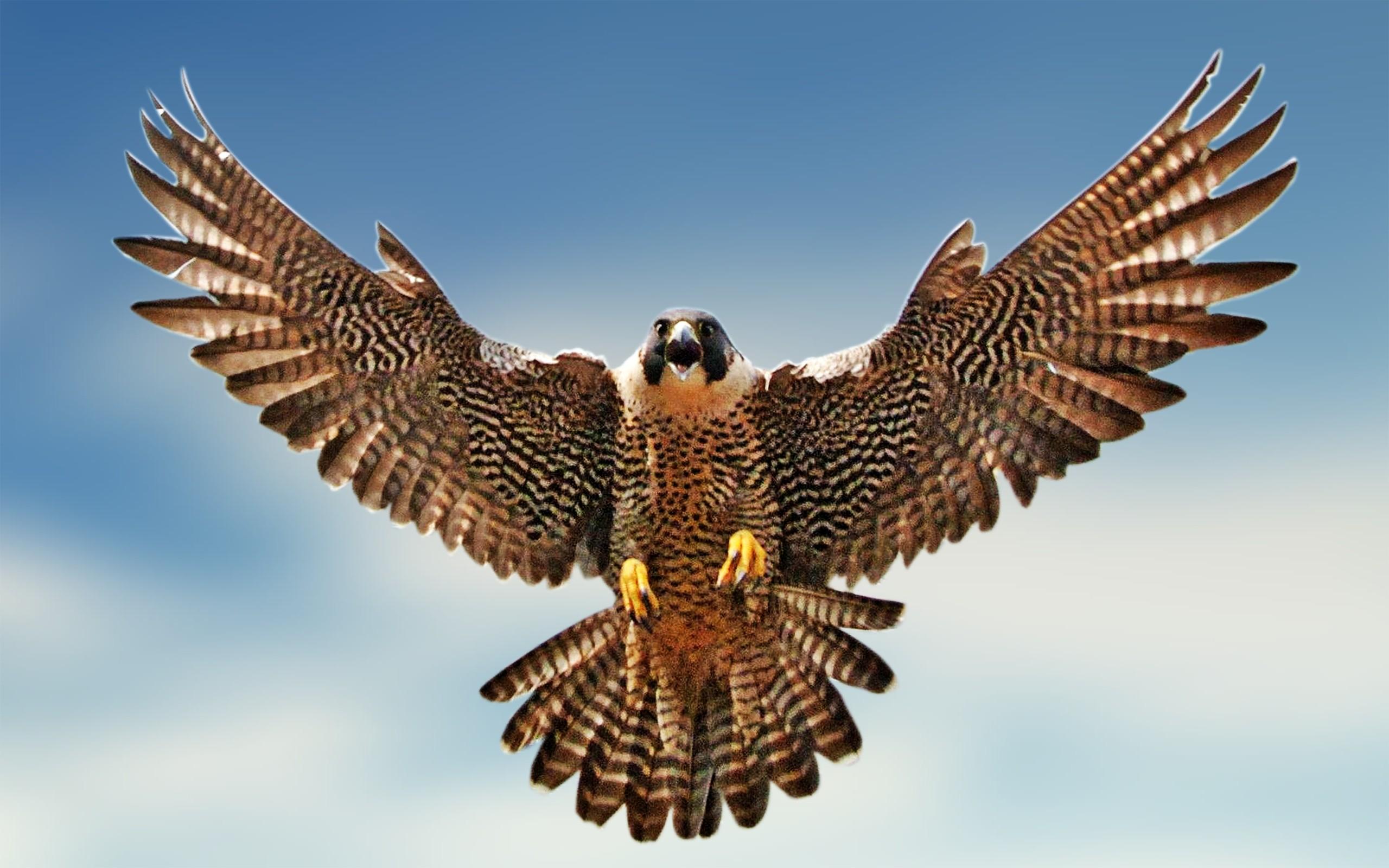 Falcon clipart web image