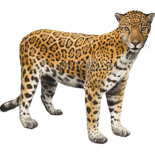 Jaguar clip art tumundografico 5