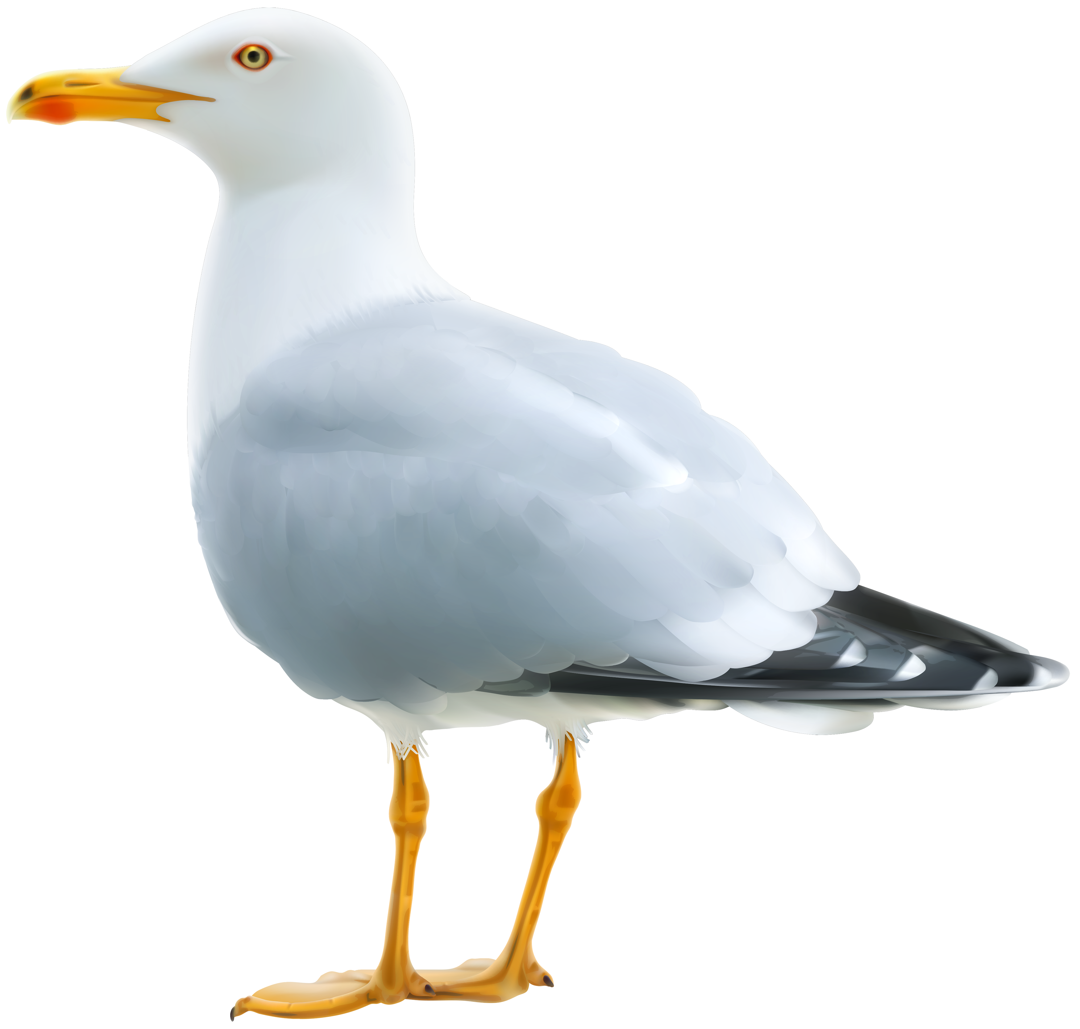 Seagull clipart image