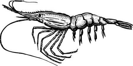 Shrimp clipart no background clipartfest