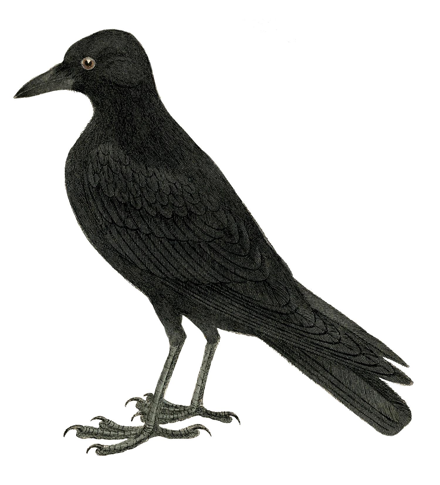 The crow clipart clipartfest