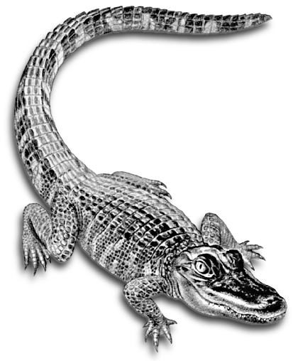 Alligator  black and white alligator head clipart black and white clipartfest
