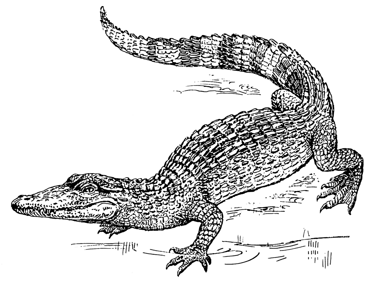 Alligator  black and white free crocodile clipart 1 page of clip art