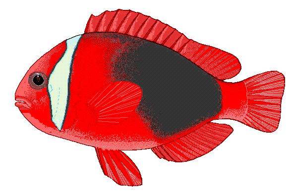 Clownfish clip art download