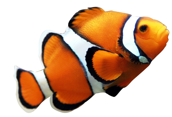 Clownfish fish nemo clipart