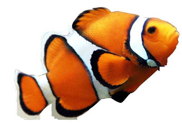 Clownfish fish nemo clipart