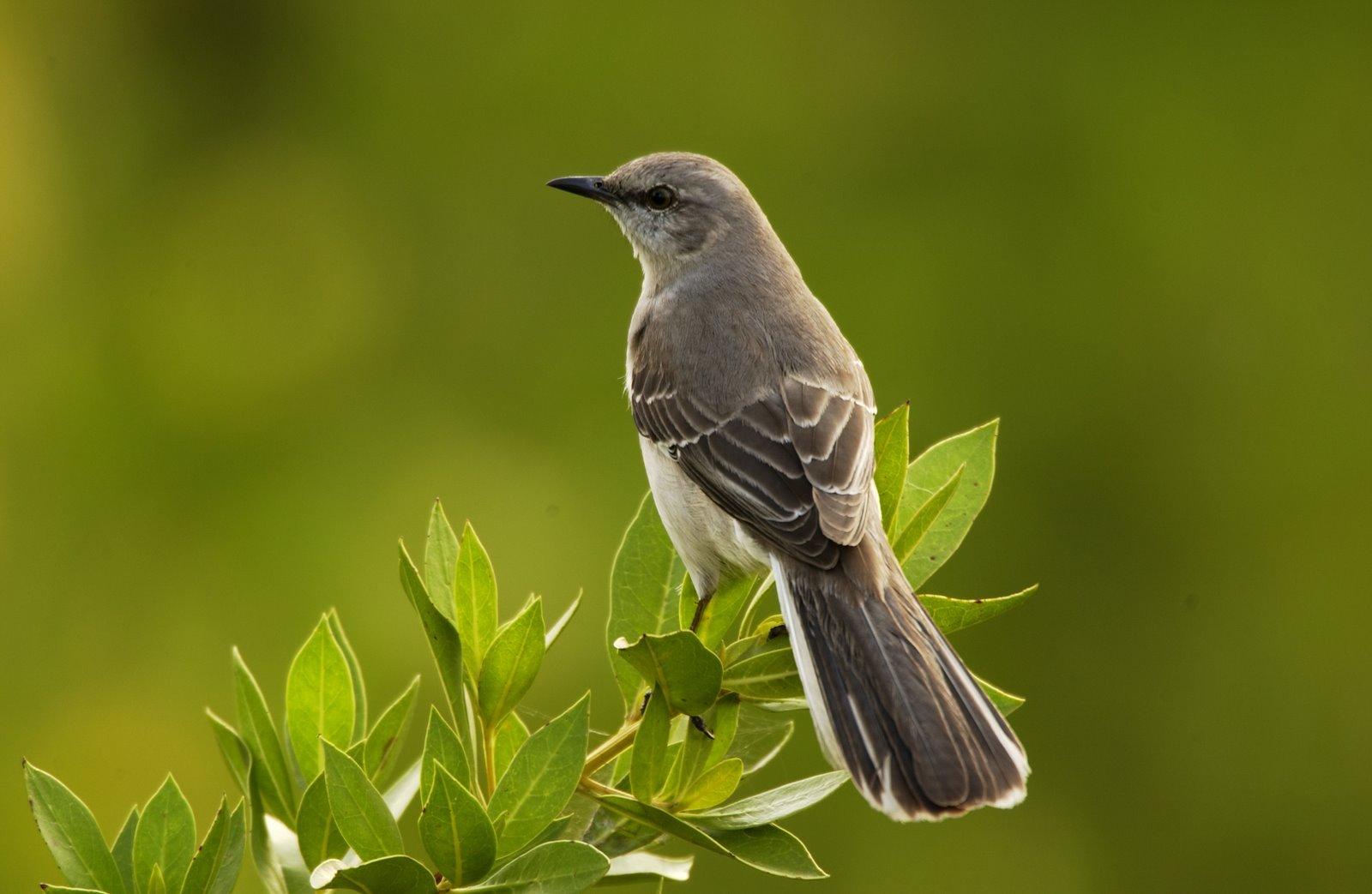 Dead mockingbird clipart