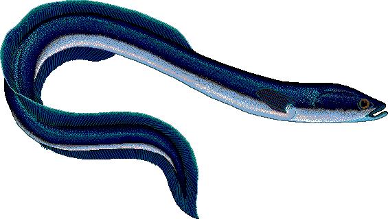 Eel clipart clipart