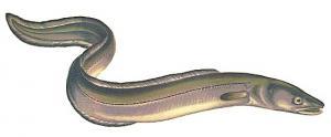 Eel conger clip art download
