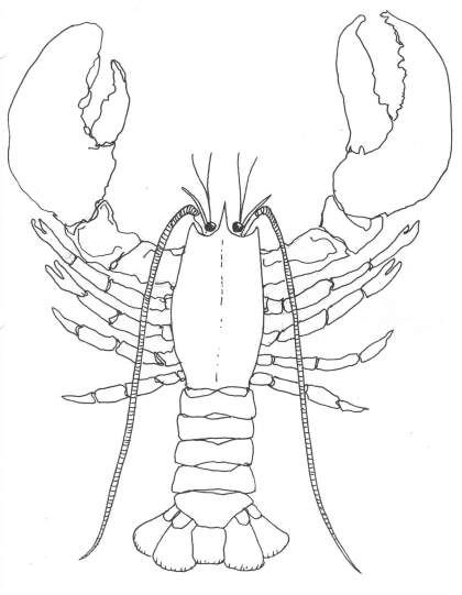 Lobster outline how to draw a lobster lobsters will regenerate claw if it is