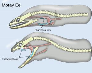 Moray eel clip art download