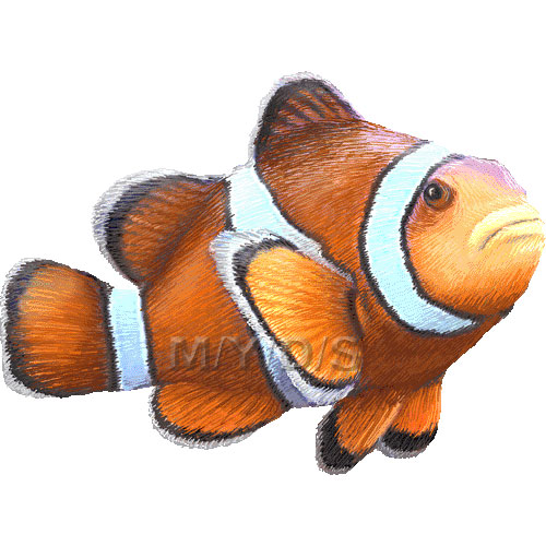 Ocellaris clownfish false percula clipart graphics
